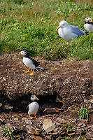 bird, Atlantic puffins, Fratercula arctica, at burrow and herring gull, Newfoundland, Canada