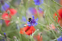 Bee feeding on a Nectar & Pollen wild flower mix <br /> ©Tim Scrivener Photographer 07850 303986<br />      ....Covering Agriculture In The UK....