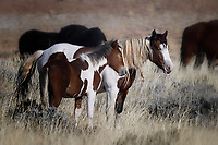 Wild Horse Mare and Colt, McCullough Peaks Range, Cody, Wyoming