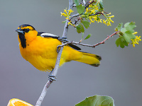 A Bullock's Oriole surveys the landscape from a Golden Currant.