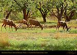 Mule Deer in Velvet, Johnson Orchard, Fruita, Capitol Reef National Park, Utah