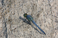 Eastern Pondhawk (Erythemis simplicicollis) Dragonfly - Male, Rockefeller State Park Preserve, Potanico Hills, Westchester County, New York