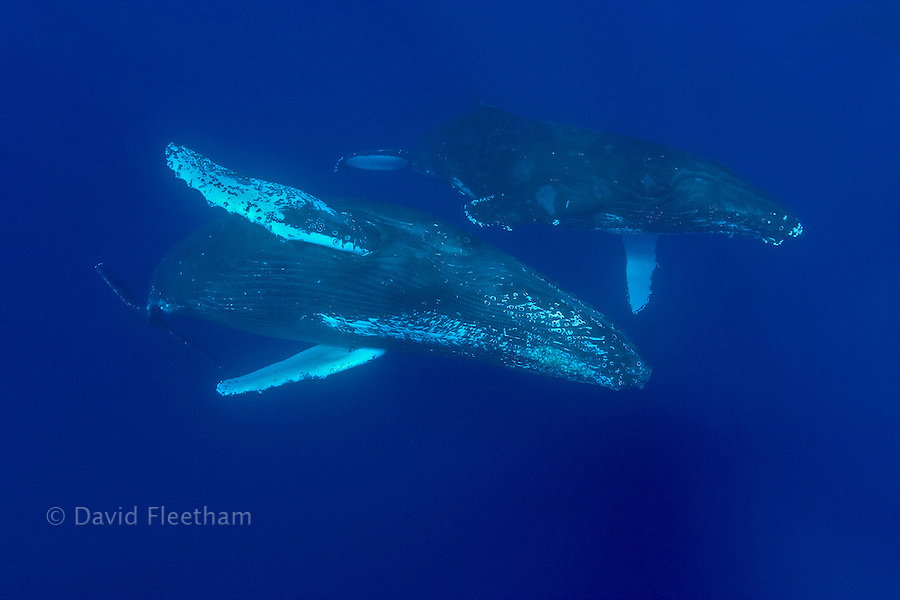 Humpback whales, Megaptera novaeangliae, are thought to live 30 to 40 years, although there is speculation that this estimate is much lower than reality.  Hawaii.