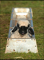 BNPS.co.uk (01202 558833)<br /> Pic: TomWren/BNPS<br /> <br /> Baaa-king mad?<br /> <br /> It's a dogs life for 'Barry the lamb' - The precious Valais Blacknose lamb is being hand reared by owner Emma Childs after being rejected by his mother.<br /> <br /> Emma took Barry the lamb into her home last month so she could bottle-feed him round the clock after his mum rejected him as a newborn.<br /> <br /> Barry, now four weeks old, is a valuable rare Valais Blacknose, a breed that was only introduced to the UK from the Swiss Alps in 2014.