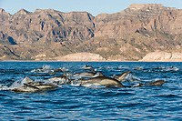 short-beaked common dolphin, Delphinus delphis, Gulf of California, Sea of  Cortez, Mexico, Pacific Ocean