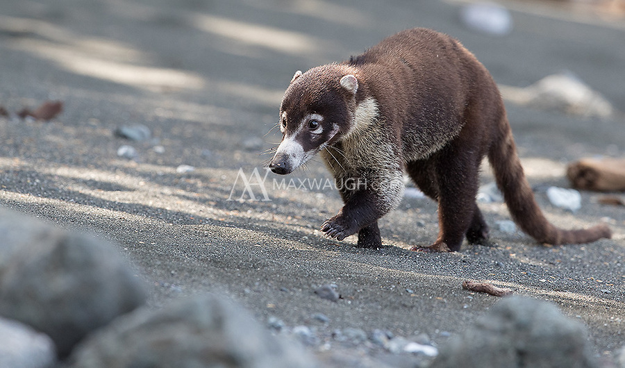 Coatis are a common sight in Corcovado National Park.