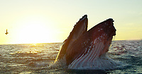 Feeding Humpback Whale, Monterey Bay, California