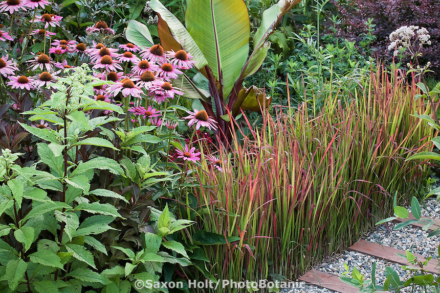 Summer garden mixed ornamental border with Japanese Blood grass (Imperata cylindrica v. koenigii 'Rubra'), Eupatorium maculatum, Purple Cone Flower (Echinacea purpurea), Red Abyssinian Banana (Ensete ventricosum 'Maurelii')