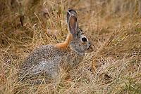 A rabitt hides in the grasslands of Theodore Roosevelt National Park in North Dakota