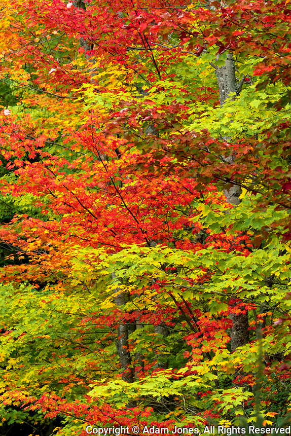 Maple trees in fall color, Hiawatha National Forest, Upper Peninsula of Michigan.