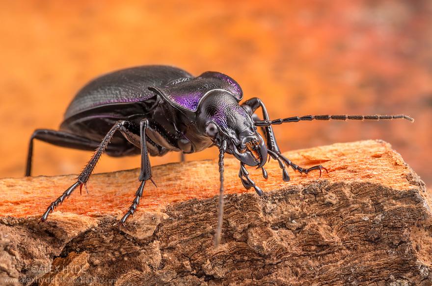 Violet Ground Beetle (Carabus violaceu) Peak District National Park, Derbyshire, UK. July.