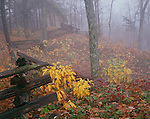 Cumberland Gap National Historic Park, KY: Fall colored leaves and fog at the edge of Pinnacle Peak