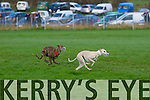Lixnaw Coursing Club 86th Annual Meeting at Granshagh, Ballinclogher on Sunday <br /> <br /> Social Media (red collar) and Pennylane Vickey (white collar) running in the semi-finals of the Donal McNamara Memorial Stake and Lyons Cup race.