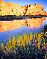 Prince's Plume and Colorado River, Near Moab, Utah      Stanleya pinnata