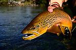 Spring creek brown trout