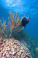 Scuba diver viewing Finger Coral, (Porites sp.) Florida Keys National Marine Sanctuary