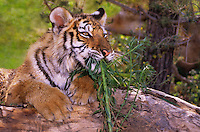 684089248 a captive siberian tiger cub panthera tigris altaicia lays on a large log and chews some green grass species is highly endangered native to the high steppe plateaus of central asia and this is a wildlife rescue animal
