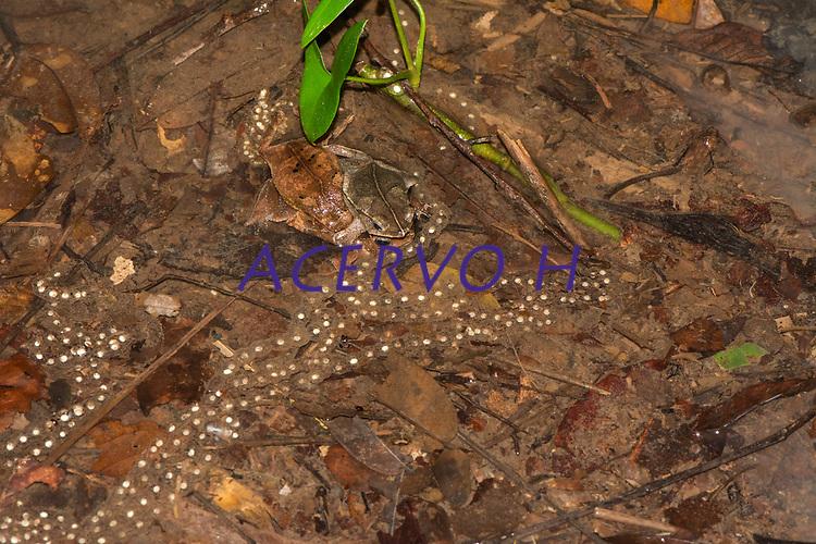 Rhinalla sp. (grupo margaritifera)<br /> .<br /> Sapos durante reprodução em poça temporária formada pela água das chuvas no interior da floresta em Tefé. Nessa espécie é comum que diversos machos tentem acasalar com uma única fêmea. Em algumas ocasiões os machos brigam por espaço mas comumente eles formam uma massa única que pode conter diversos machos (neste caso, três machos e e uma fêmea). A femea coloca os ovos na água e esses formam uma linha contínua (parecendo um colar de contas). Os ovos se desenvolvem na água e os girinos eclodem. Os girinos completam o seu desenvolvimento inteiro dentro da água.<br /> .<br /> Imagem feita em 2017 durante expedição científica para a região do Lago Tefé, Tefé, Amazonas, Brasil. A expedição, financiada pelo  Conselho Nacional de Desenvolvimento Científico e Tecnológico, teve o abjetivo de reencontrar espécies de anfíbios descritas pelo explorador Johann Baptist von Spix no ano de 1824.