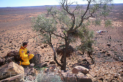 Researcher from National Parks service checking nest of Wedge-tailed Eagle, helicopter in bkgd. Cotaurandee Range, Mutawindji NP, NSW