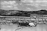 Palestinian casualty during the Israeli capture of Jerusalem, Six-Day War, June 1967