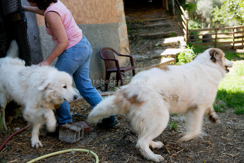 Eliane Rogeri lets 2 of the 5 'Patous' [Great Pyrenees sheepdog] that she and her husband own out of their kennels under the farmhouse, La Bollène Vésubie, Alpes-Maritimes, France, 02 August 2013. Fleas have become a problem on the farm since the arrival of wolves in the mountains: the Patous catch fleas from the wolves, which then breed on the dogs, and transfer to their handlers.