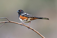 582260005 a wild southern california subspecies of the spotted towhee pipilo maculatus montanus megalonyx perches on a branch in open space protected habitat los angeles county california