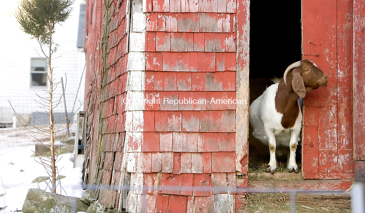 SOUTHBURY, CT--09 MARCH 2007--030907JS23- A goat looks out the bard door at the farm of Rollin Hannan of Southbury. FOR COUNTRY LIFE<br /> Jim Shannon / Republican-American