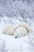 01874-11701 Polar Bears (Ursus maritimus) female and 2 cubs, Churchill Wildlife Management Area,  MB