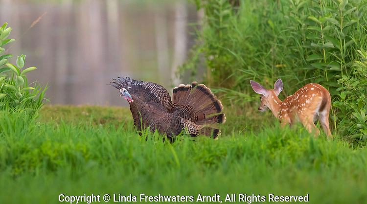 Hen turkey fans her tail in an encounter with a white-tailed fawn.