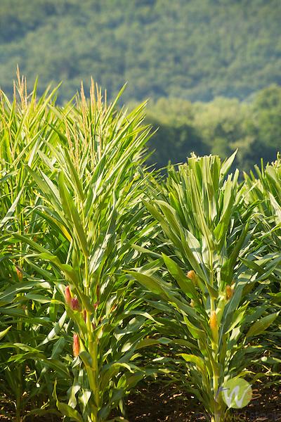 Seed corn pruning.