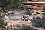 Ewe bighorn sheep, Zion National Park