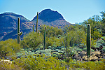 The Bajada, the outwash plain of the Ajo Mountains in Organ Pipe Cactus National Monument