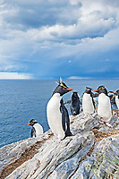 Southern Group of rockhopper penguins (Eudyptes chrysocome) on a rock, South Atlantic, East Falkland, Falkland Islands, South America