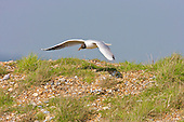 Black headed Gull (Chroicocephalus ridibundus) in flight with nesting materials. The area is situated at present on a shingle which is slowly carrying more vegetation as the site develops from the extensive management program. The Gulls are industrious and make use of all the materials available in as short a flight as possible from the nest. Common visitor to the garden. Adaptation into urban areas appears to date only to the 'Little Ice-Age', a run of cold-winters in the 1880s and 1890s. Factory workers would feed the birds scraps during their lunch hours.
