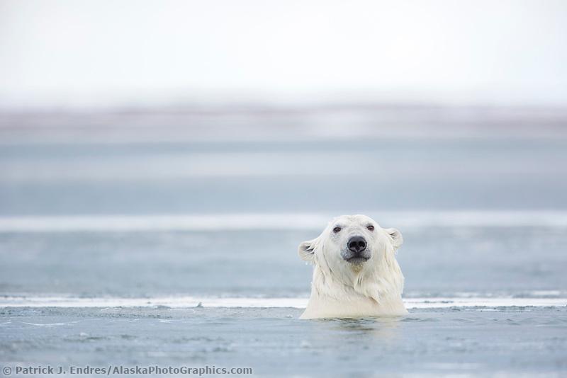 Polar bear swimming in the Beaufort Sea, Arctic, Alaska.