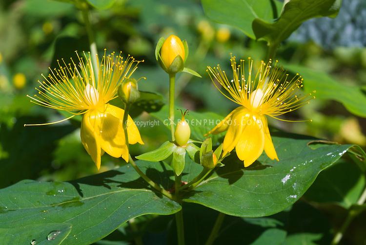 Hypericum  St John's Wort flowers, yellow closeup, medicinal plant
