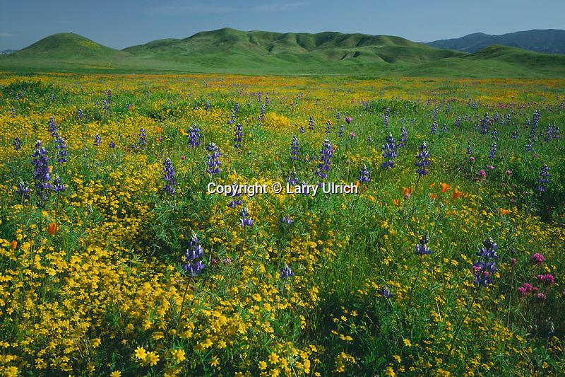Goldfields, Douglas' lupine and California poppies<br /> Carrizo Plain<br /> Carrizo Plain National Monument<br /> San Luis Obispo County, California