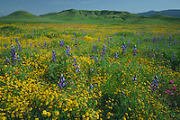 Goldfields, Douglas' lupine and California poppies<br />