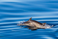 long-beaked common dolphin, Delphinus capensis, mother and calf, jumping, Isla Santa Catalina, Baja California Sur, Mexico, Gulf of California, Sea of Cortez, Pacific Ocean