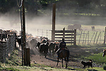 cowboys and cattle in Coleville