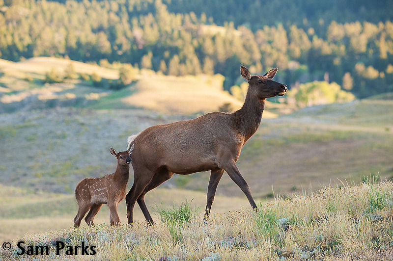 Cow elk with newborn calf. Yellowstone National Park, Montana.
