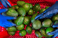 Hands of Colombian farm workers are seen sorting out avocados into crates at a farm facility near Sonsón, Antioquia department, Colombia, 21 November 2019. Over the past decade, the Colombian avocado industry has experienced massive growth, both as a result of general economic development in Colombia, and the increased global demand for so-called superfood products. The geographical and climate conditions in Antioquia (high altitude, no seasonal extremes, high precipitation rate) allow two harvest windows of the Hass avocado variety across the year. Although the majority of the Colombian avocado exports are destined towards Europe now, Colombia aspires to become one of the major avocado suppliers to the U.S. market in the near future.
