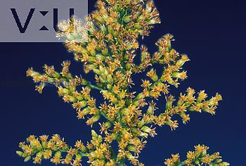 Goldenrod, a hay fever plant. ,Solidago,