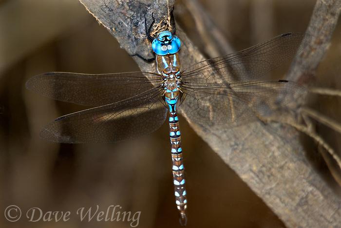 339360025 a wild male blue-eyed darner rhionaeschna multicolor perches on a small branch near topock marsh in havasu national wildlife refuge arizona united states