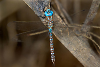 339360025 a wild male blue-eyed darner rhionaeschna multicolor perches on a small branch near topock marsh in havasu national wildlife refuge arizona united states