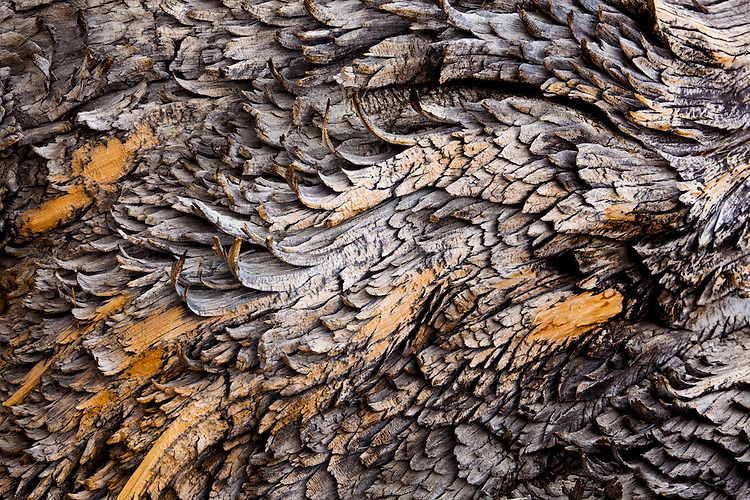 Patterns and texture of a section of a fallen Great Basin Bristlecone Pine (Pinus longaeva) tree. Grow between 9,800 and 11,000 feet (3000-3400 m) above sea level in xeric alpine conditions in southwest US; Utah, Nevada and California. Grows to 16-49 ft (5 to 15 m) tall w/ trunk diameter of 8 ft 2 in to 11 ft 10 in (2.5 to 3.6 m). Species on International Union for Conservation of Nature (IUCN) red list. Protected within the Inyo National Forest. Among White Mountain specimens, oldest trees found on north-facing slopes, with an average of 2,000 years, as compared to the 1,000 year average on the southern slopes. The climate and the durability of their wood can preserve them long after death, with dead trees as old as 7,000 years persisting next to live ones. Leaves show the longest persistence of any plant, with some remaining green for 45 years. Ancient Bristlecone Pine Forest, Inyo County, Inyo National Forest, White Mountains, CA.