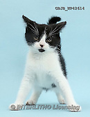 Kim, ANIMALS, REALISTISCHE TIERE, ANIMALES REALISTICOS, cats, photos,+Black-and-white kitten, Loona, 11 weeks old, standing and looking fierce and imposing,++++,GBJBWP42614,#a#
