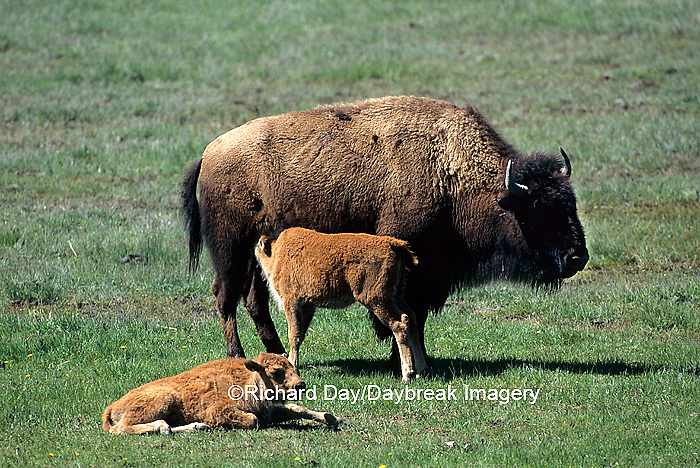 01985-018.18 Bison (Bison bison) adult with calves Yellowstone NP   WY