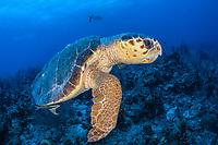 loggerhead sea turtle, Caretta caretta, adult, male, endangered species, Turneffe Atoll, Belize Barrier Reef, Belize, Caribbean Sea, Atlantic Ocean