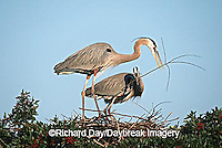 00684-039.16 Great Blue Herons (Ardea herodias) placing stick on nest Sarasota Co.   FL